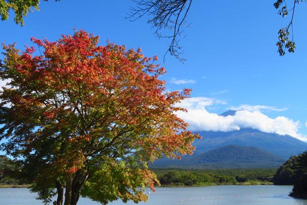いつも早い、精進湖のあの木。