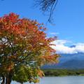 Photos: いつも早い、精進湖のあの木。