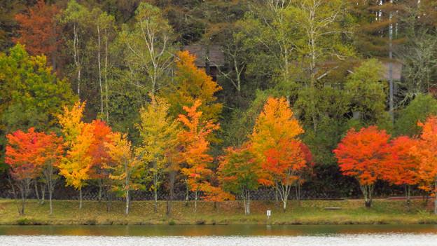背くらべの紅葉。