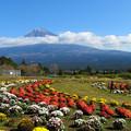 Photos: カーブに咲く菊。