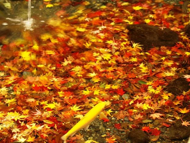 落ちモミジの池。