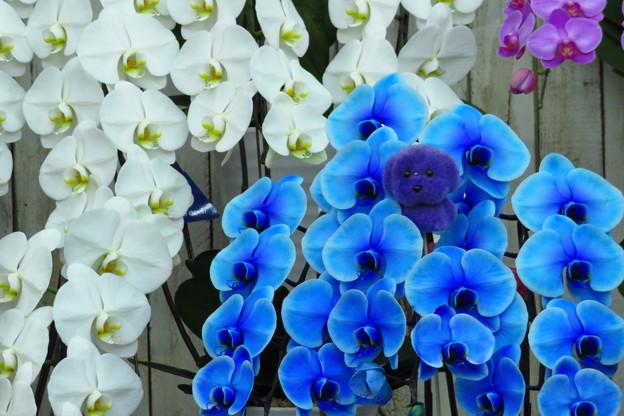 ブルー&ホワイト蘭。