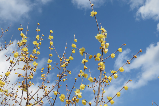 初春に早咲くろうばい。