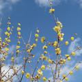 Photos: 初春に早咲くろうばい。