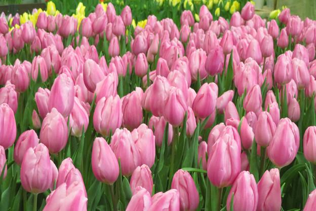 Photos: もう咲きたいよ、チューリップ。