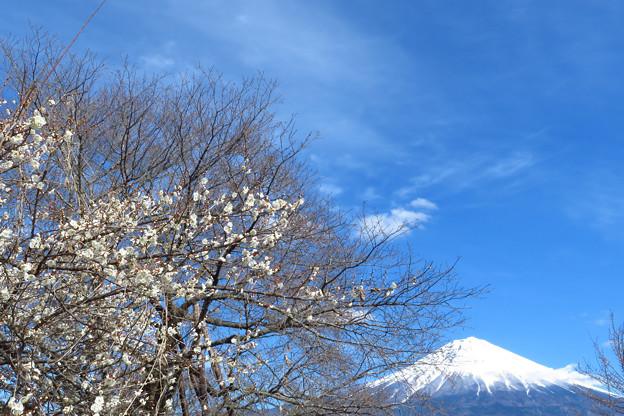 白梅咲くを見つけたり。