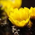 陽射しを浴びる福寿草。