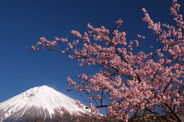 早い見ごろの寒緋桜。