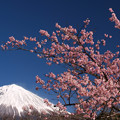 Photos: 早い見ごろの寒緋桜。
