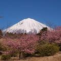 若き桜も早咲いて。