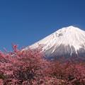 Photos: もっと伸び行け、寒桜。