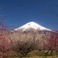 Photos: 中を取り持つ白梅の木。