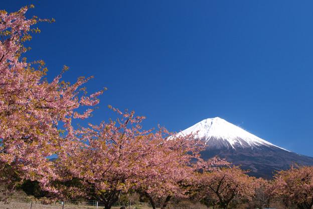 濃い色桜と抜けるよな青空。