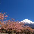 Photos: 濃い色桜と抜けるよな青空。