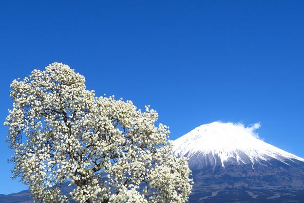 白木蓮、鈴なりに咲く。