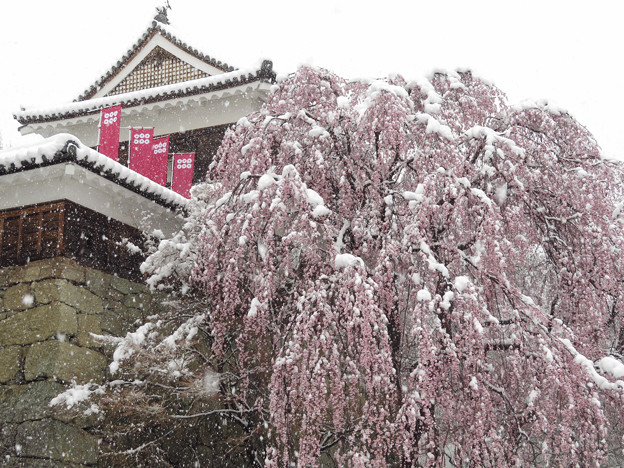 枝垂桜に春の雪。