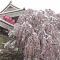 Photos: 枝垂桜に春の雪。