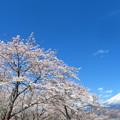 盛り盛り桜かな。
