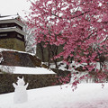 Photos: 一面雪に、桜の櫓下。