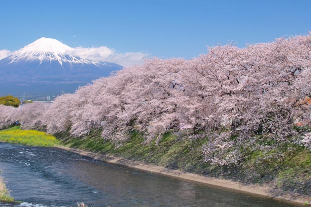 潤井川の春模様。