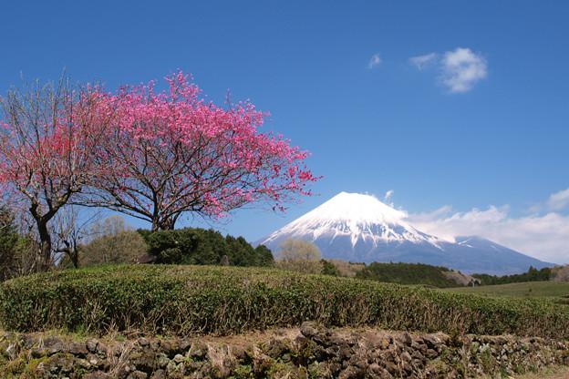 茶畑に紅一点かハナモモ花。