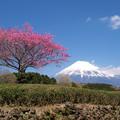 Photos: 茶畑に紅一点かハナモモ花。