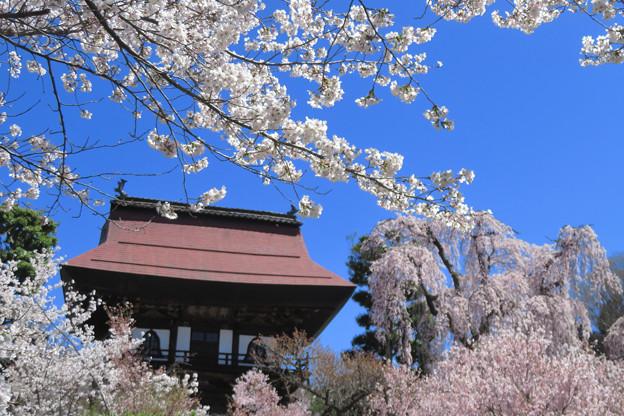 山のお寺の桜日和。
