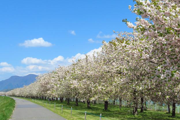 遥かに、一葉桜並木。