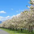 Photos: 遥かに、一葉桜並木。