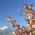 朝日のあたる八重桜。