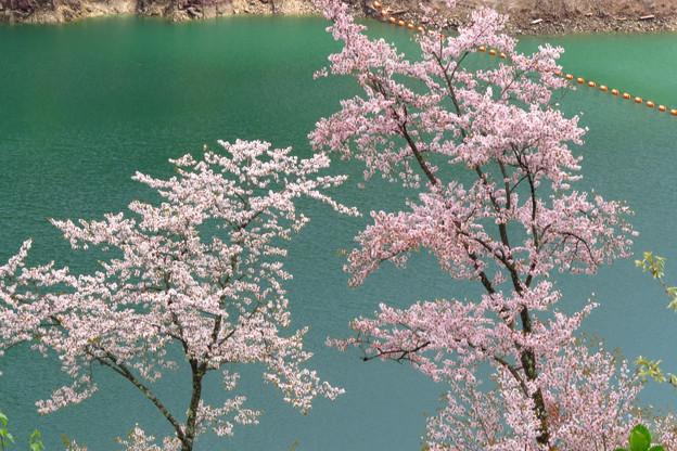 遅咲き、ダム湖のさくら。