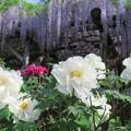 白牡丹と藤の花。