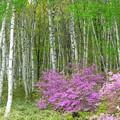 白樺林の紫のつつじ。