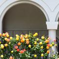 Photos: 美術館の薔薇ー2