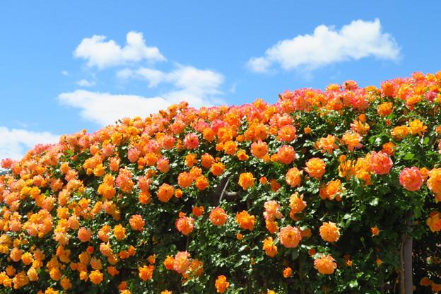 オレンジローズと泳ぐ雲。