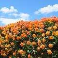 Photos: オレンジローズと泳ぐ雲。