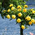 湖畔の黄バラ。