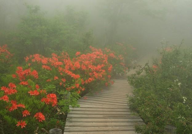 霧のツツジ道。