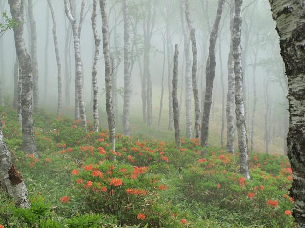 薄霧、白樺平のツツジ。