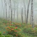 Photos: 薄霧、白樺平のツツジ。