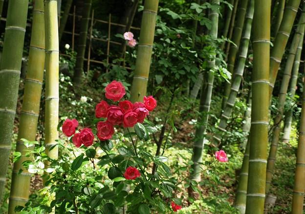 竹林の赤バラ。