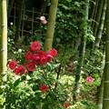Photos: 竹林の赤バラ。