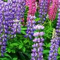 Photos: 紫色に昇藤。