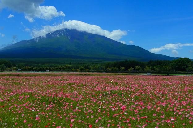 雛罌粟のお花畑。