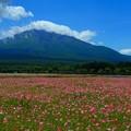 Photos: 雛罌粟のお花畑。