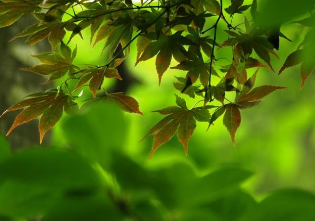 Photos: 夏の楓。