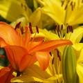 Photos: 黄の中のオレンジユリ。