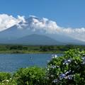 Photos: 精進湖畔の額紫陽花。