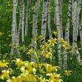 黄ゆり咲く白樺林。