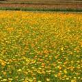 黄花コスモス咲く公園。